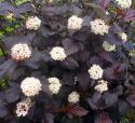 """Пузыреплодник калинолистный """"Red Baron"""" (Рэд барон) (Physocarpus opulifolius """"Red Baron"""")"""