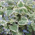 """Бруннера крупнолистная  (Brunnera macrophylla) """"Variegata"""""""